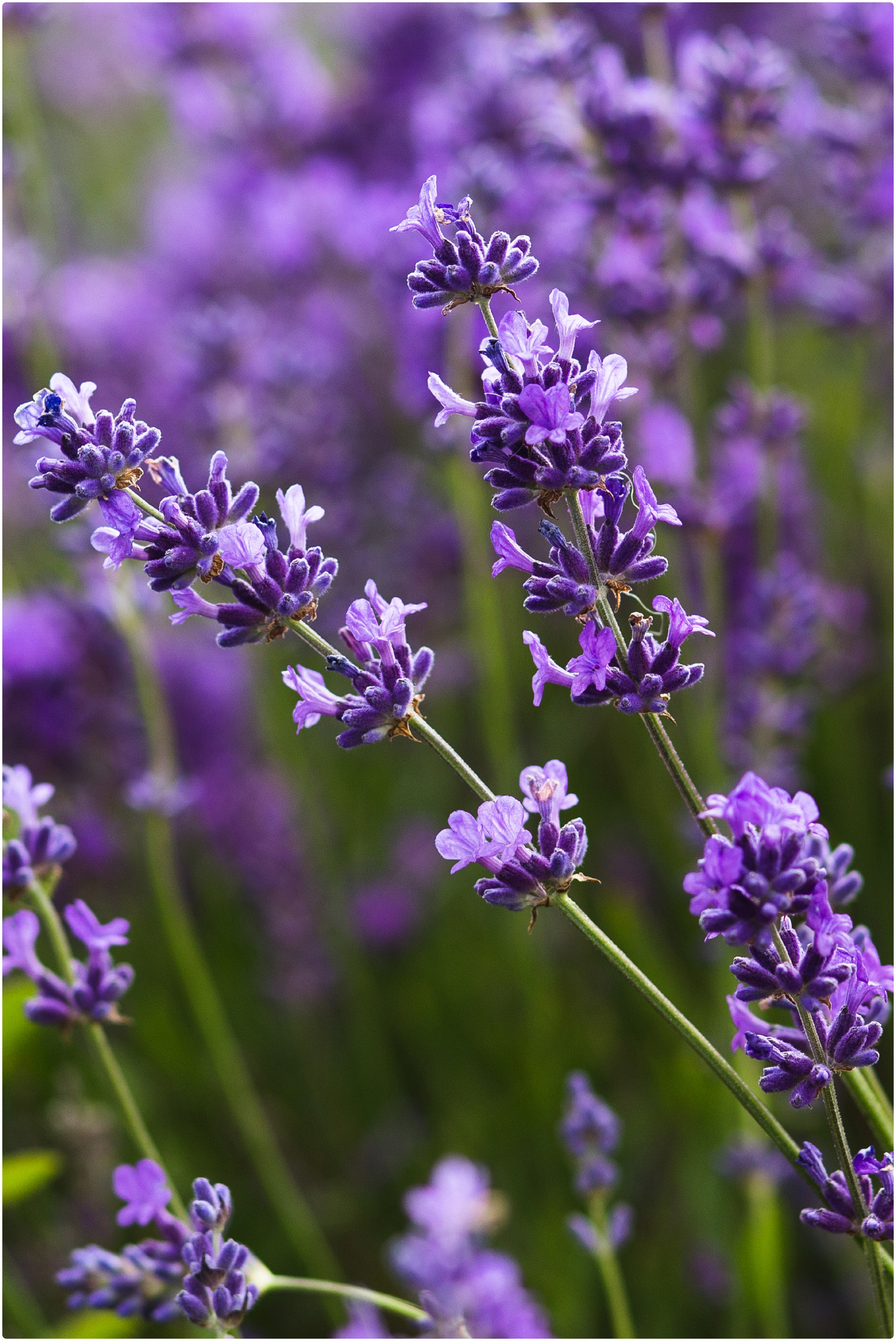 Lavender family photo shoot